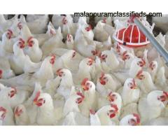 Poultry farm for 8000 chicks at Perinthalmanna